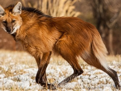 """Spindly legs and thick, red fur have earned them the nickname """"foxes on stilts,"""" but maned wolves are neither fox nor wolf."""