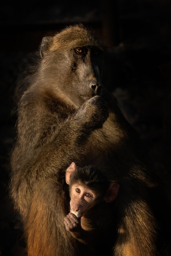 Early morning breakfast for mother and baby Chacma baboons thumbnail
