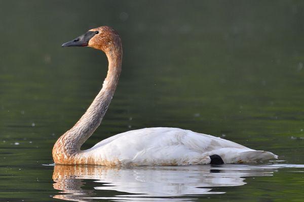 trumpeter swan thumbnail