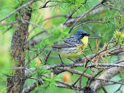 The Kirtland's warbler needs humans to cut and replant the trees it nests in. Without this work, the species' painstaking recovery from less than 1,000 males to over 2,000 could be erased.