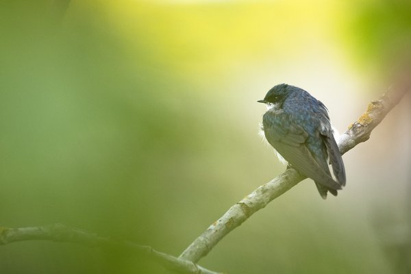 Tree Swallow thumbnail