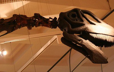 A mount of Cetiosaurus at the New Walk Museum in Leicester. While the neck of this sauropod is almost completely known, no skull has ever been described.