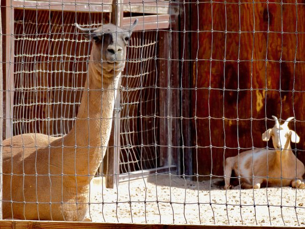 A day in the life of a New Mexican llama thumbnail