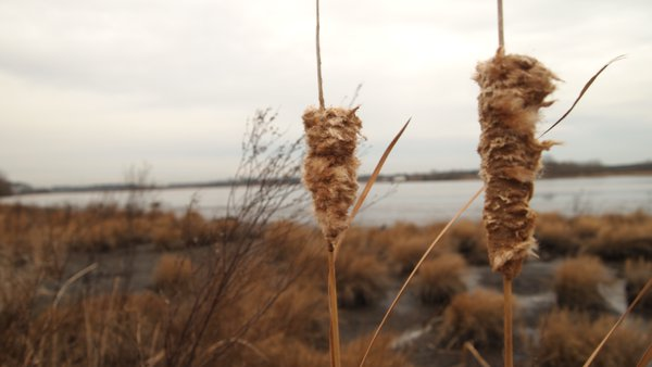 Cattails in the wind  thumbnail