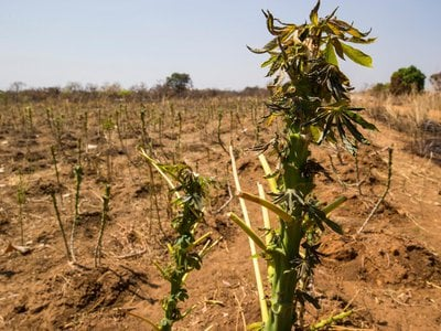 This crop near Kagwada, South Sudan was destroyed first by armed rebels, then by roaming cattle who wiped it clean. South Sudan now faces a humanitarian crisis in the form of a famine.