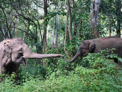 Elephants are missing a gene to digest alcohol, which might mean they probably can't handle their liquor.
