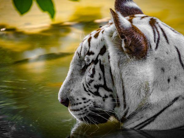White Bengal Tiger Meditating thumbnail