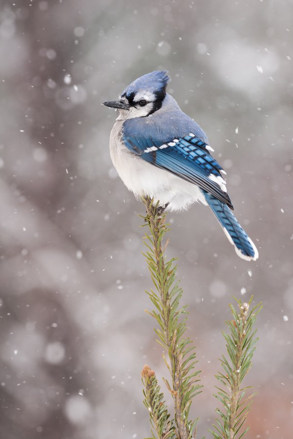 Blue Jay in Snow thumbnail