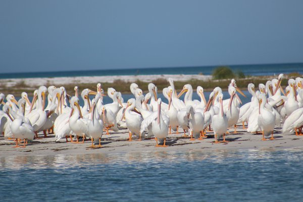 Migration of White Pelicans thumbnail