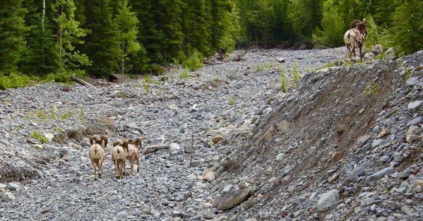 4 Bighorn Sheep in Banff thumbnail