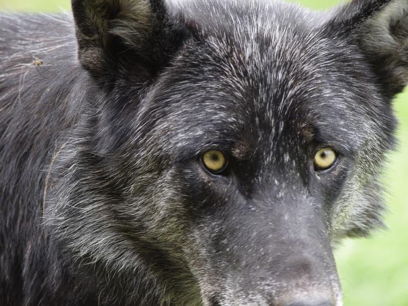 было канадский волк фото двухразрядная семисегментых