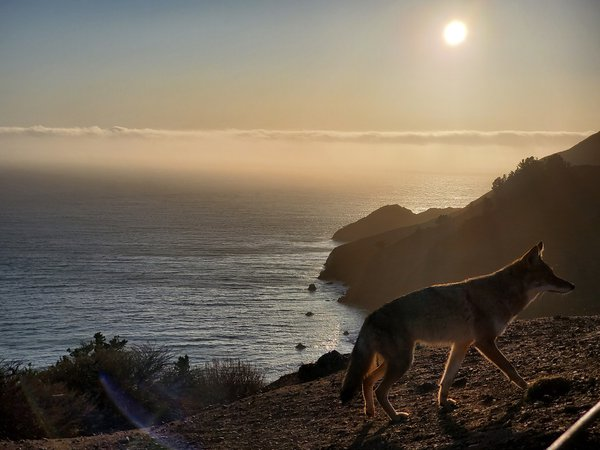 Coyote walking in front of the sunset thumbnail