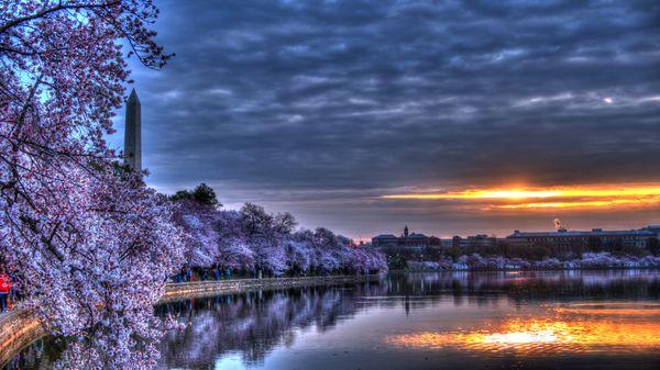 Cherry Blossoms at Dawn thumbnail