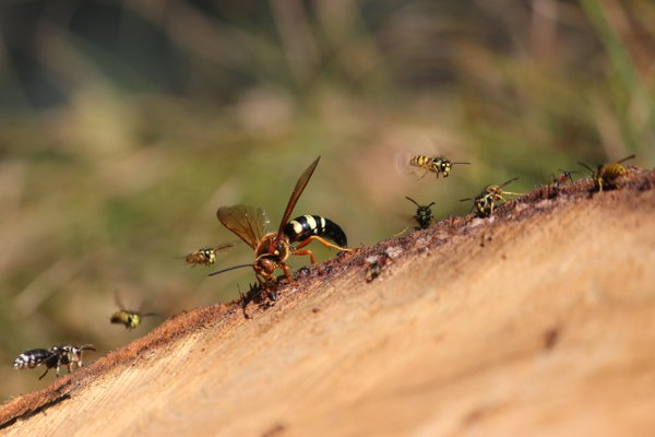 Wasps on freshly cut wood thumbnail