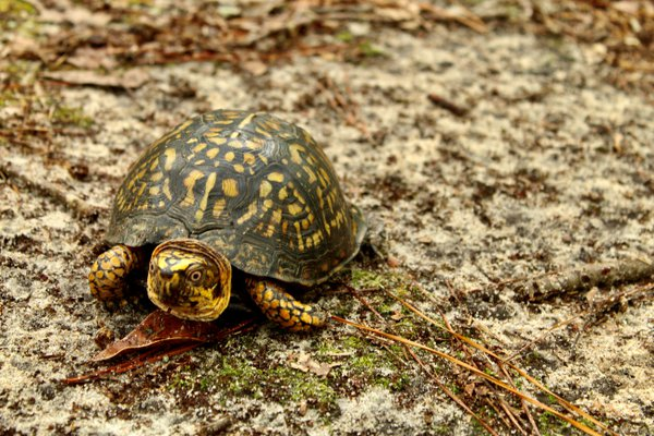 Eastern box turtle thumbnail