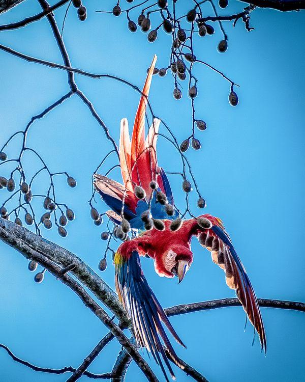 Scarlet Macaw Diving thumbnail