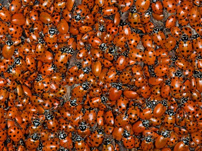 It's a beetle invasion! These lady beetles (also known as lady bugs) are just one of Earth's family of beetles.