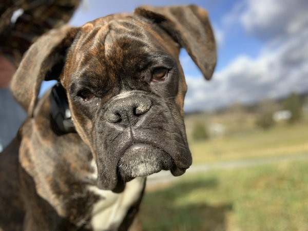 Nelson, the boxer, enjoying the farm life thumbnail