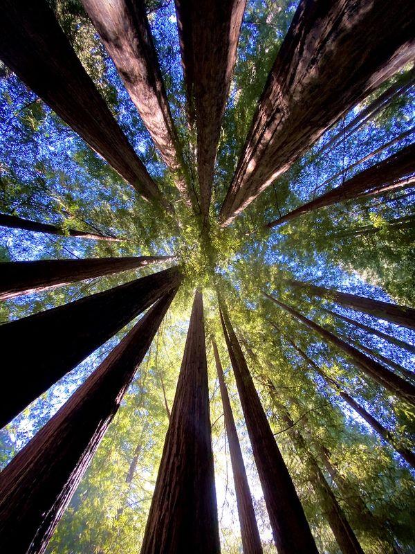 Redwoods of Big Basin thumbnail