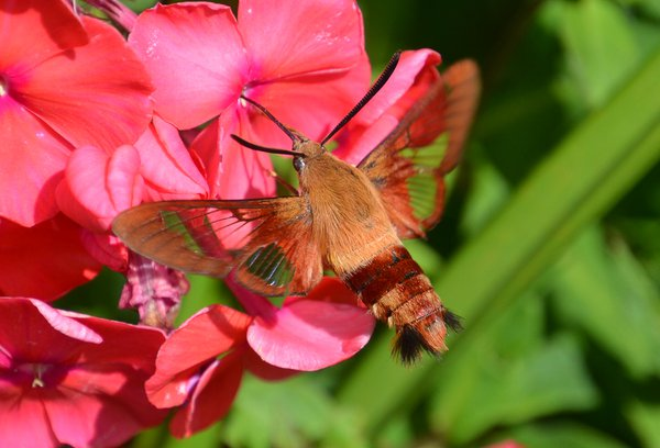 Clearwing hummingbird moth thumbnail