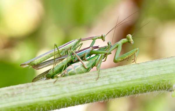 Mating praying mantis': one head is already bitten off and two others patiently wait their turn. thumbnail