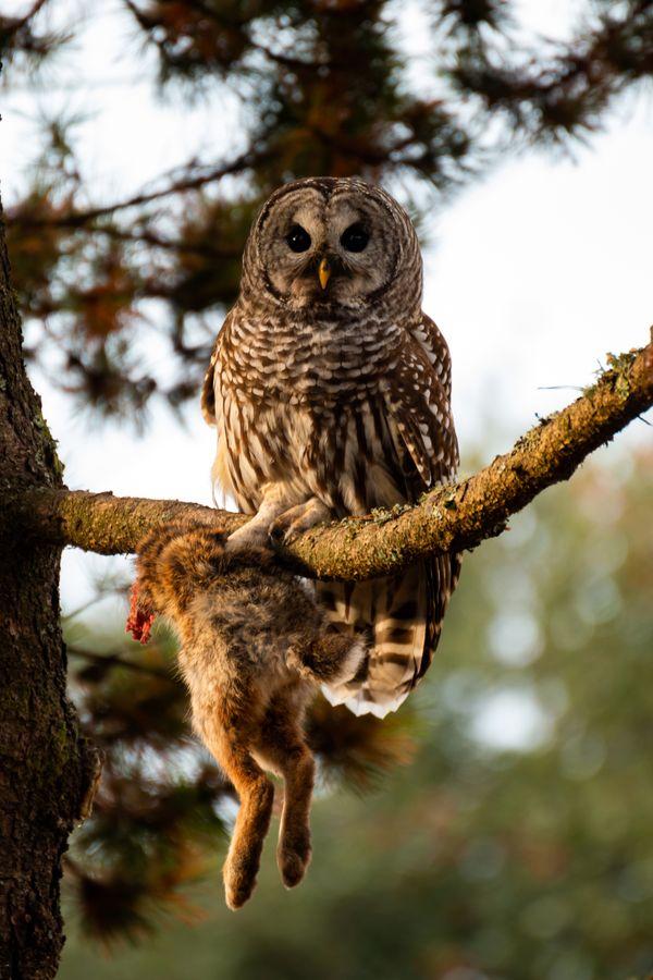 Barred Owl: Bird of Prey thumbnail