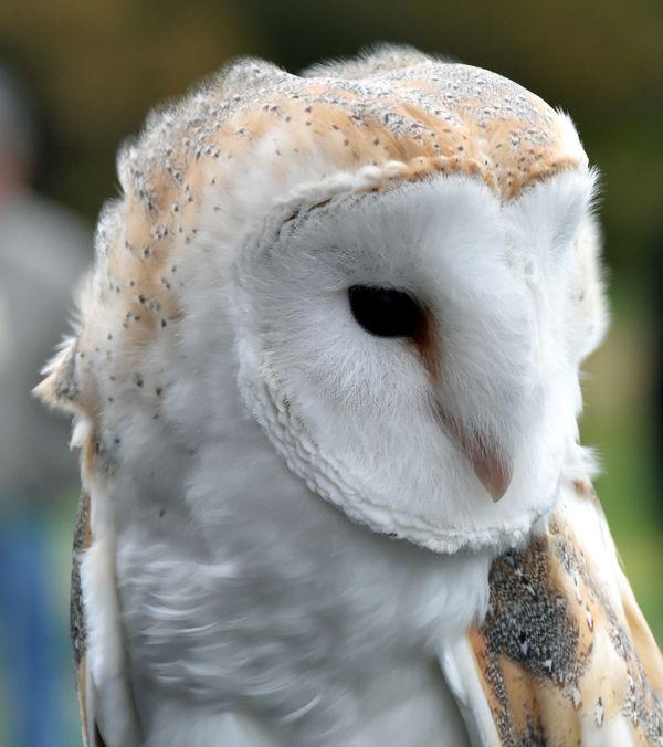 Spectaculer Barn Owl thumbnail