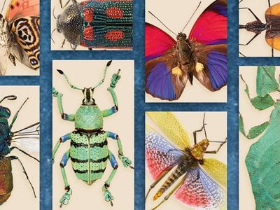 Featured insects include the Picasso moth, the violin beetle, the green milkweed grasshopper and the cuckoo wasp.