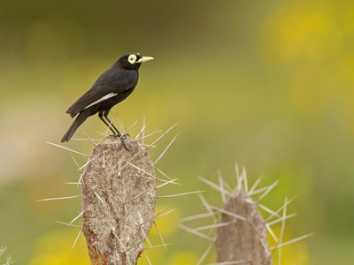 The spectacled tyrant (Hymenops perspicillatus) inhabits harsh, dry deserts, which new research suggests tend to produce new species at a higher rate than lush, biodiverse places like the Amazon.
