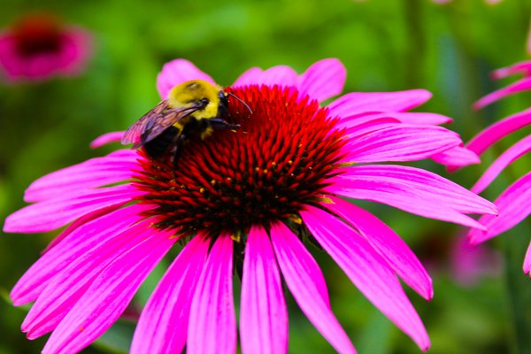 Pink flower with Bee thumbnail