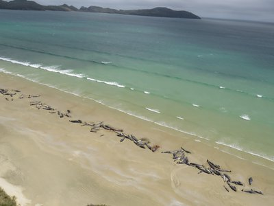 Up to 145 whales were discovered on the shores of Stewart Island last Saturday evening.