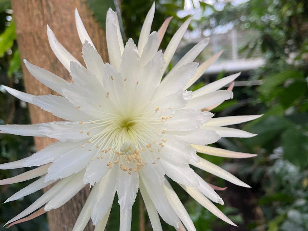 The photo shows a close-up of a moonflower cactus in full bloom. The petals are spiky and white in color.