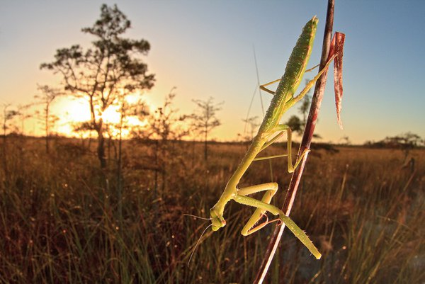 A praying mantis seems curious of the camera as the sun rises over the Everglades. thumbnail