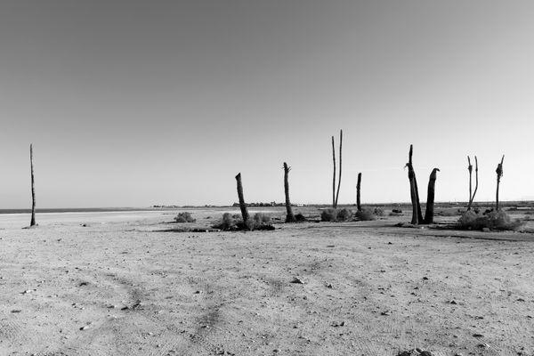 Dead Palm Trees on Desert Shores thumbnail