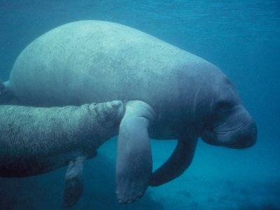 A West Indian manatee calf nurses from its mother.