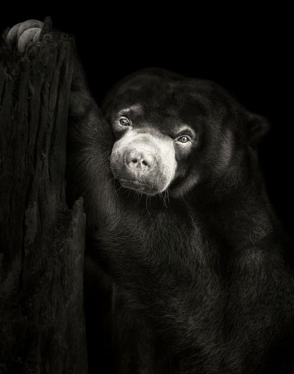 Portrait of a Sun Bear thumbnail
