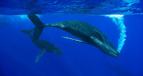 Humpback whale female