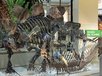 The meat-eating predator Ceratosaurus tried to take down Stegosaurus, but the plant-eater got away and gained the upper hand.