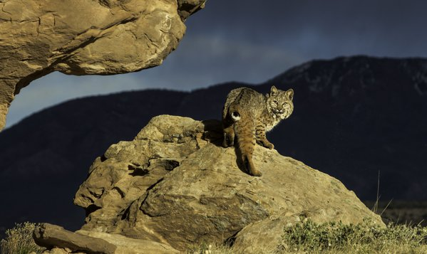 Bobcat in Red Rock Country with an Approaching Storm thumbnail