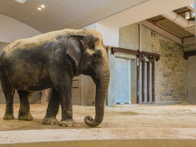 """In a release the Zoo reported that last week: """"Keepers noticed that Ambika's right-front leg, which bore the brunt of her weight, developed a curve that weakened her ability to stand. Though she had some good days and some bad days, staff grew concerned when she chose not to explore her habitat."""""""
