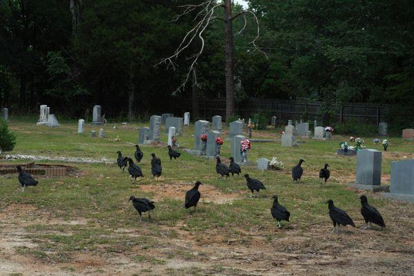 Vultures at a graveyard thumbnail