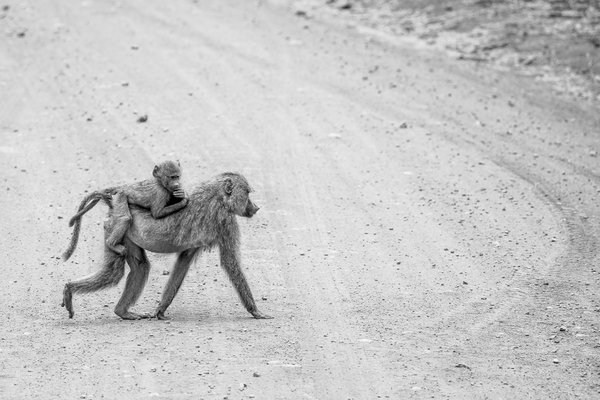 A mother Baboon and her baby thumbnail