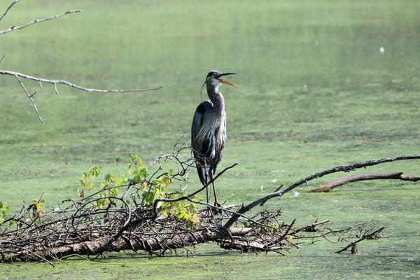 A blue heron in the Berkshires thumbnail