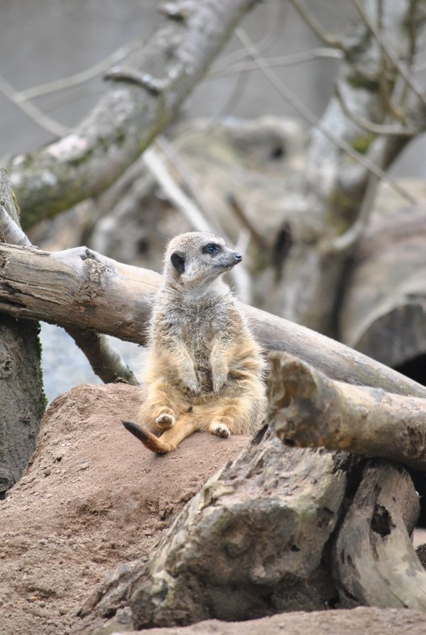 A meerkat sits comfortably in its zoo enclosure. thumbnail