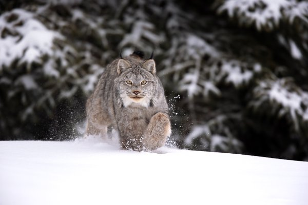 Wild Canada Lynx running in my direction in Northern Ontario, Canada. thumbnail
