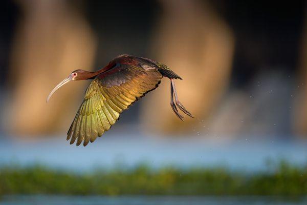 Glossy Ibis in Flight thumbnail