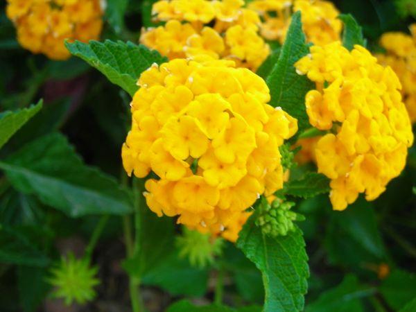 Macro yellow lantana flowers thumbnail