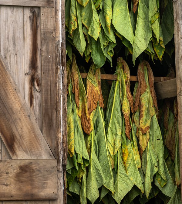 Amish Tobacco Drying in Weathered Barn thumbnail