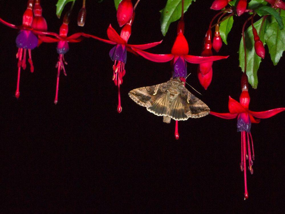 Moth pollinating flower