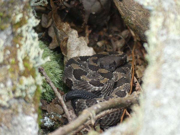 Pennsylvania Timber rattlesnake thumbnail